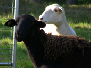 Every herd needs a black sheep ad she is so sweet.