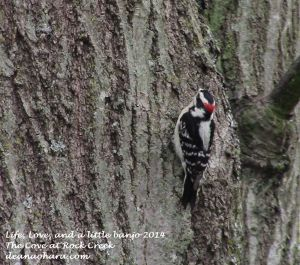 woodpecker 2014 cove